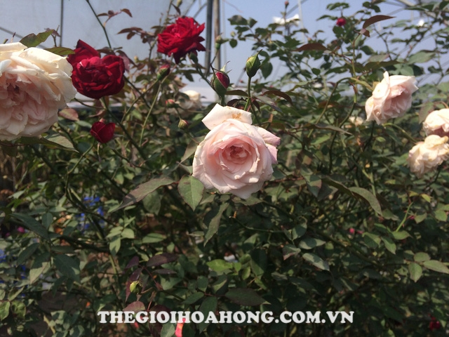 Hoa hồng cổ hồng đào