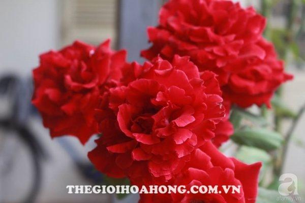 Hoa hồng cổ Sơn La (1)