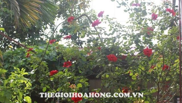 Hoa hồng cổ Sơn La (2)