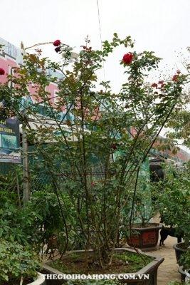 Hoa hồng cổ Sơn La (3)