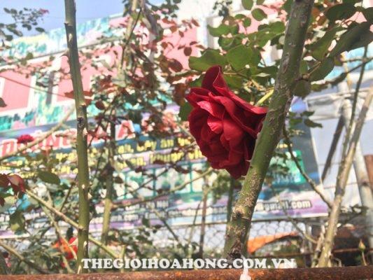 Hoa hồng cổ Sơn La (4)