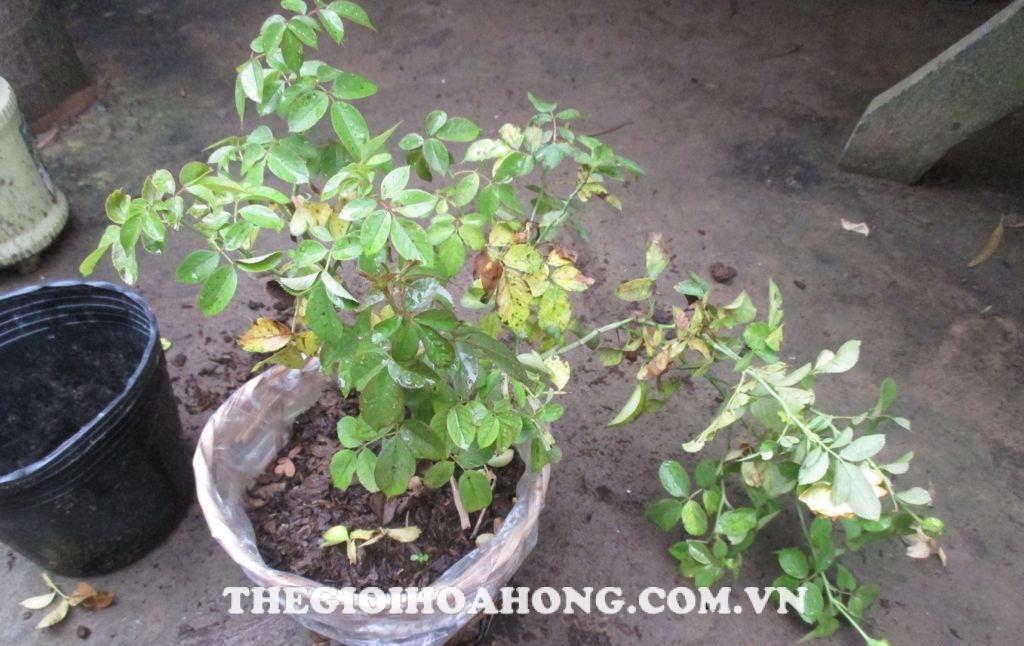Hoa hồng Honey Caramel vàng lá chết héo phải làm thế nào? (1)