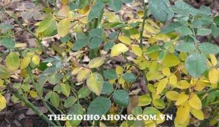 Hoa hồng Honey Caramel vàng lá chết héo phải làm thế nào? (2)