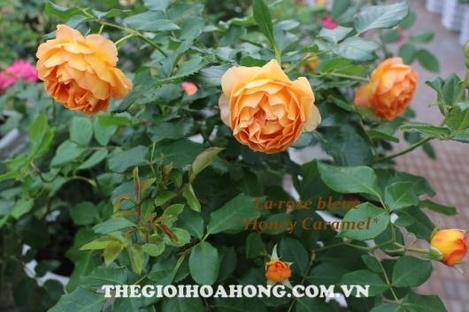Hoa hồng Honey Caramel vàng lá chết héo phải làm thế nào? (3)