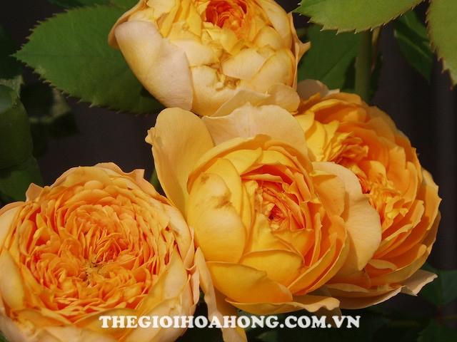 Hoa hồng Honey Caramel vàng lá chết héo phải làm thế nào? (4)