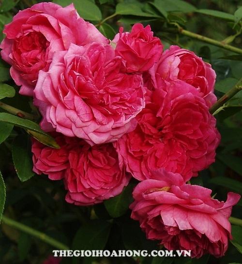 Hoa hồng tree rose ivor's