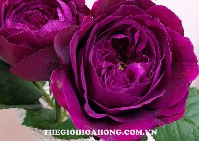 Hoa hồng leo Myste rie use