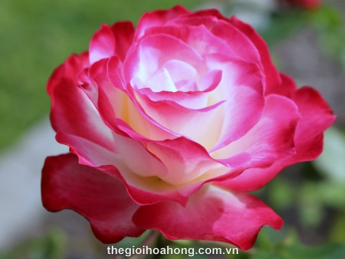 Hoa hồng Tree Rose Chicago Peace