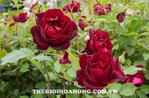 Hoa hồng leo francis dubreuil