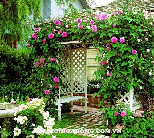 Hoa hồng leo giàn pergola nổi bậc sắc màu hồng tươi