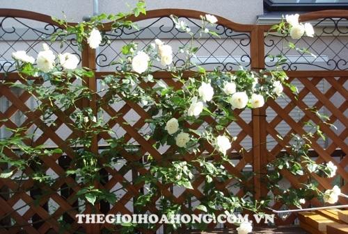 Hoa hồng leo giàn pergola được làm bằng gỗ cổ điển