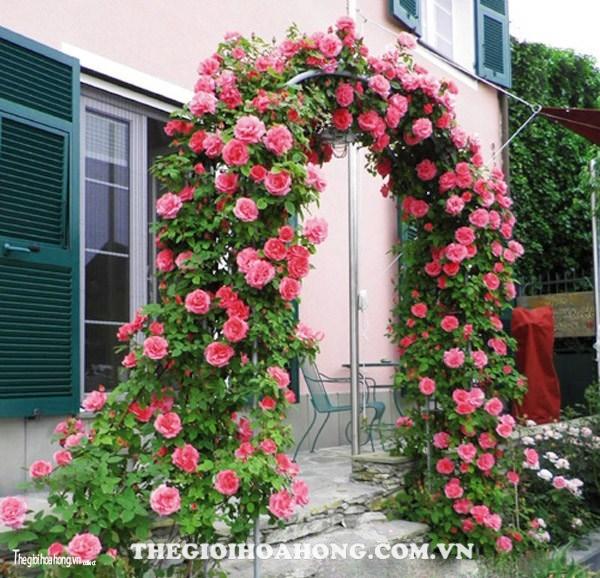 Hoa hồng leo giàn pergola giúp không gian trở nên dễ chịu