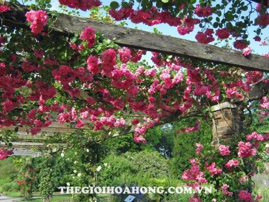 Hoa hồng leo giàn xây dựng từ các loại gỗ đơn giản