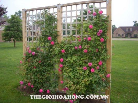 Cấu trúc hoa hồng leo giàn pergola đẹp giúp bạn thoải mái hơn