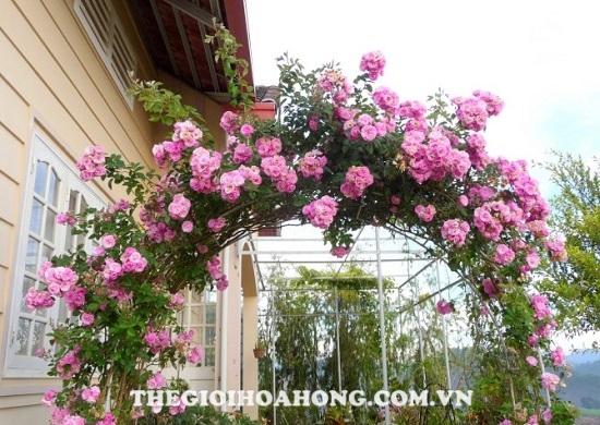 Hoa hồng leo giàn pergola tựa như hai cánh tay duỗi thẳng
