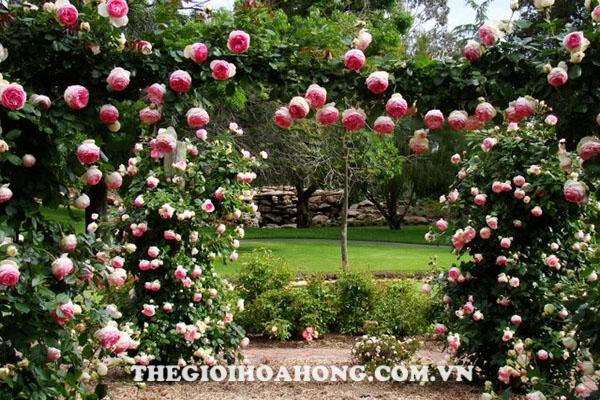 Hoa hồng leo giàn pergola tạo bóng râm mát mẻ