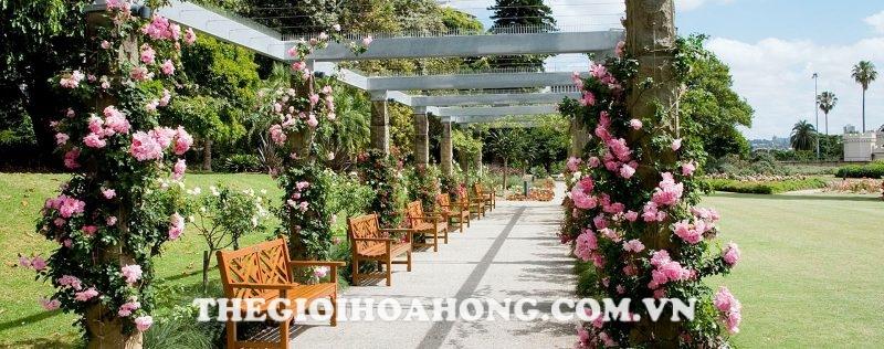 Hoa hồng leo giàn pergola giúp cho khu vườn đẹp hơn