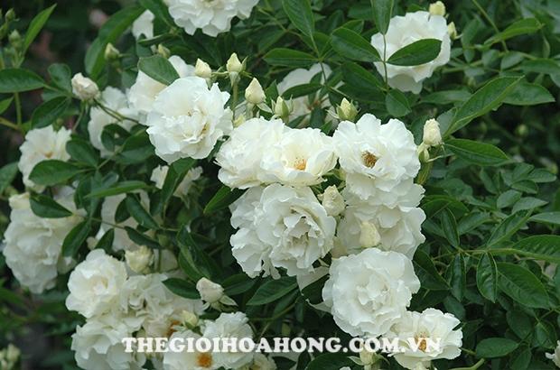 Hoa hồng leo màu trắng thuần khiết
