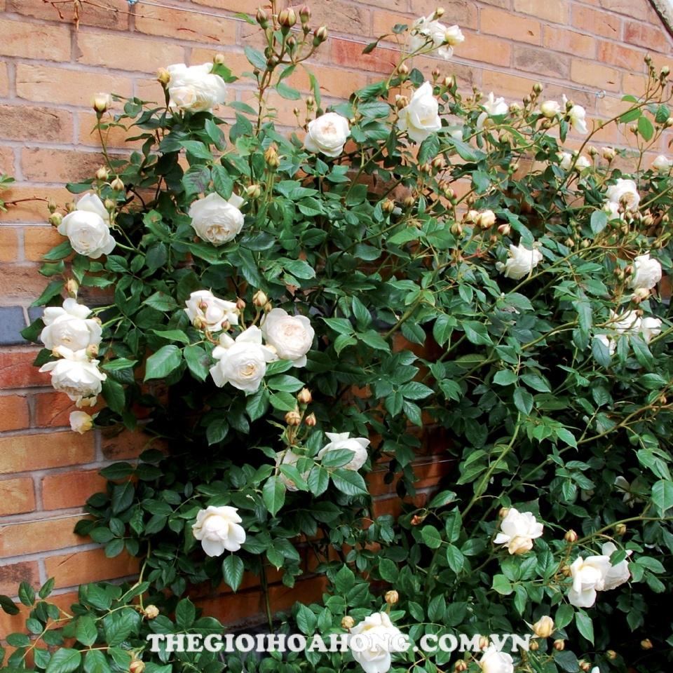 Trồng hoa hồng leo màu trắng có khoảng cách xa nhau