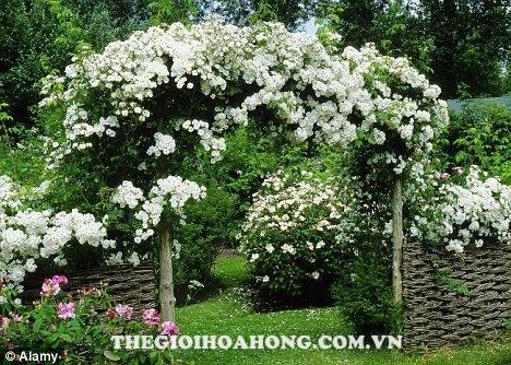 Hoa hồng leo màu trắng trang trí sân vườn tuyệt đẹp