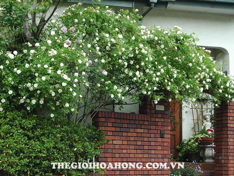 Hoa hồng leo màu trắng trang trí sân vườn quanh nhà bạn
