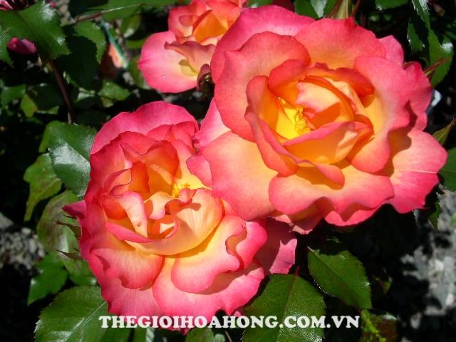 Hoa hồng Rainbow Sorbet