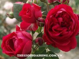Hoa hồng leo RED EDEN