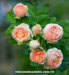 hoa hong leo thai lan