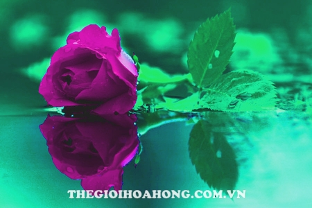 hoa hong leo violet rose