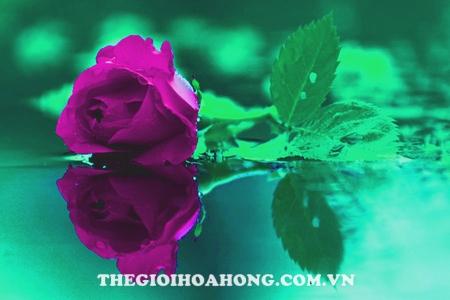 hoa hong leo violet rose
