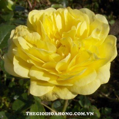 hoa hong leo yellow rose
