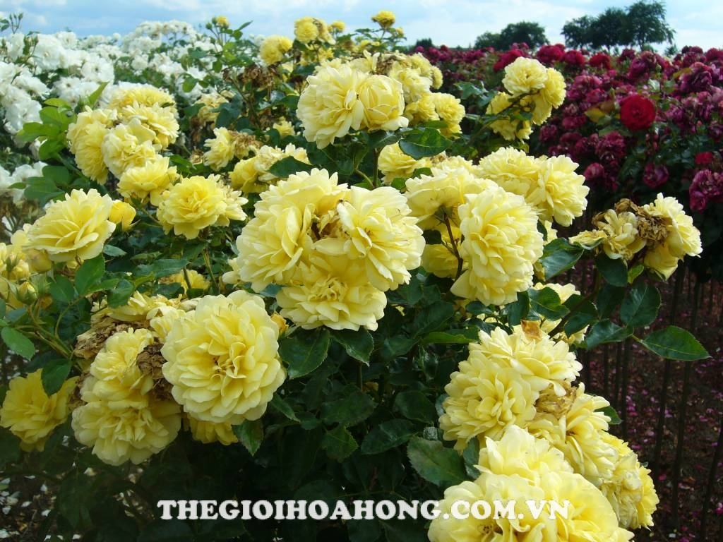 hoa hong leo yellow rose