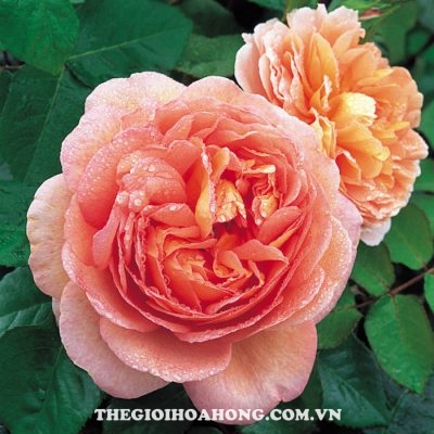 hoa-hong-tree-rose-abraham-darby