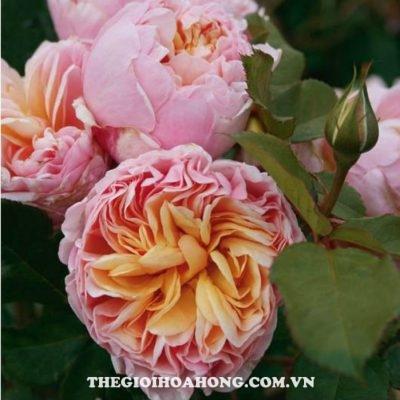 hoa-hong-tree-rose-alexandrine-khoe-sac