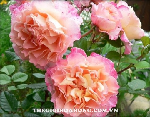 Hoa hồng Tree Rose Augusta Luise