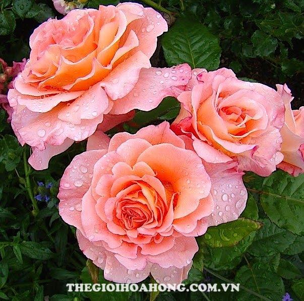 hoa-hong-tree-rose-augusta-luise-khoe-sac
