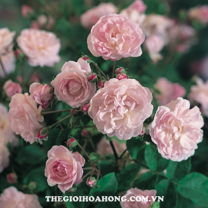 hoa-hong-tree-rose-blush-noisette
