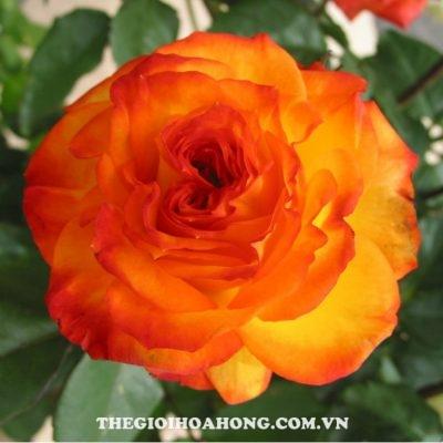hoa-hong-tree-rose-charisma
