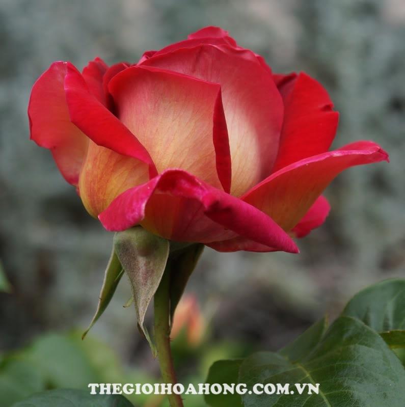 hoa-hong-tree-rose-flaming-peace