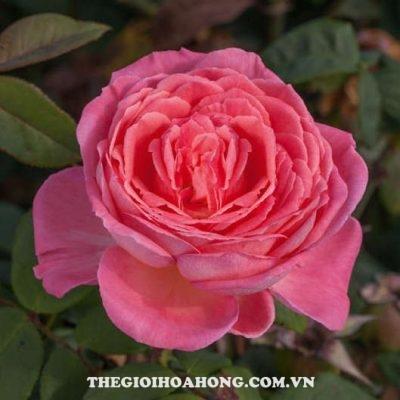 hoa-hong-tree-rose-liv-tyler-khoe-sac