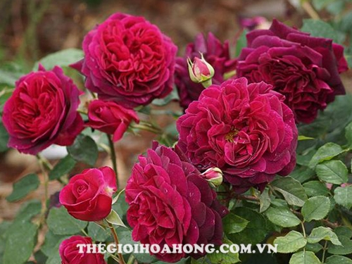 hoa-hong-tree-rose-munstead-wood