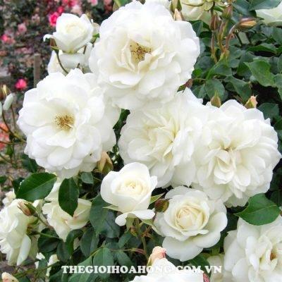 hoa-hong-tree-rose-pope-john-paul-ii