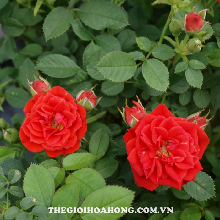 hoa-hong-tree-rose-red-minijet