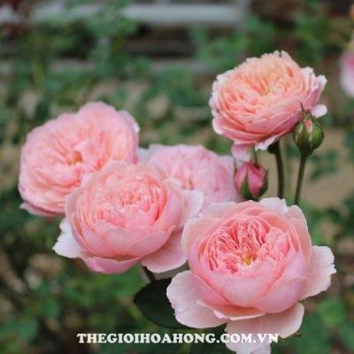 hoa-hong-tree-rose-the-alnwick-khoe-sac