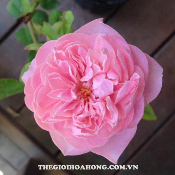 hoa-hong-tree-rose-the-alnwick