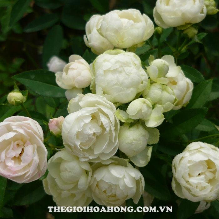 hoa-hong-tree-rose-white-margo-koster