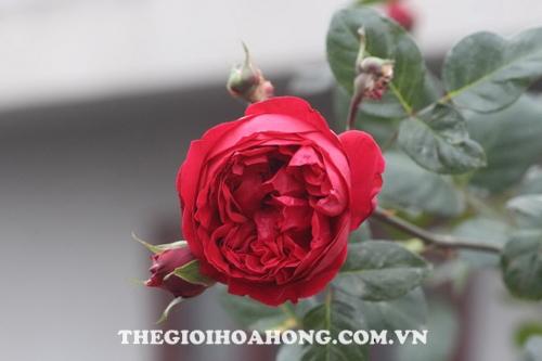 hoa hong viet