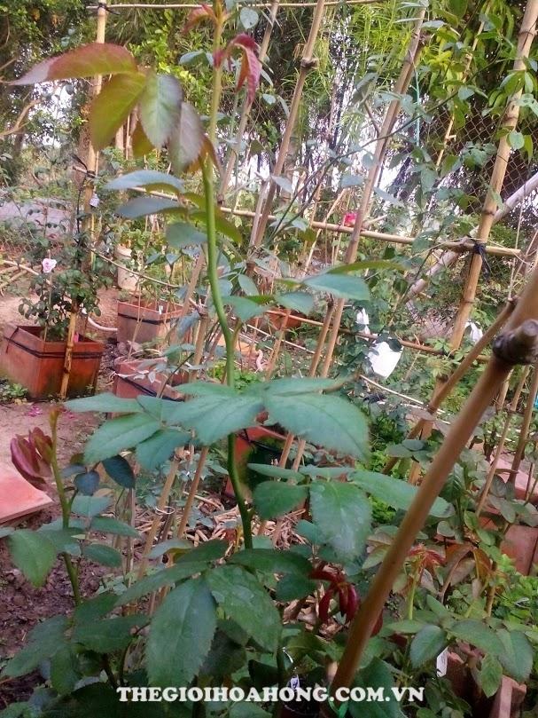 Tưới nước bón phân cho cây hoa hồng sau khi tỉa lá