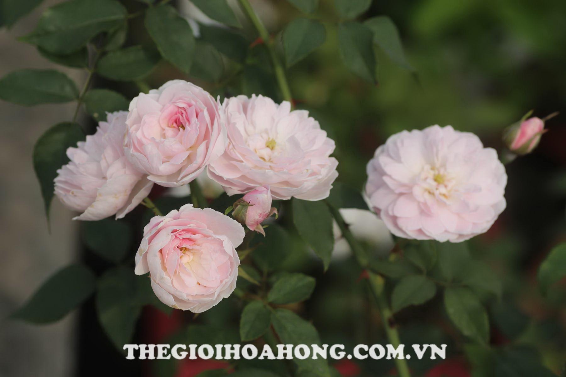 Giống hoa hồng màu hồng nhạt hoa bé