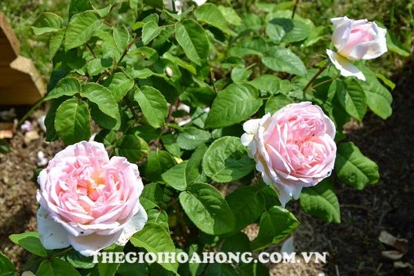 Giống hoa hồng màu nhạt